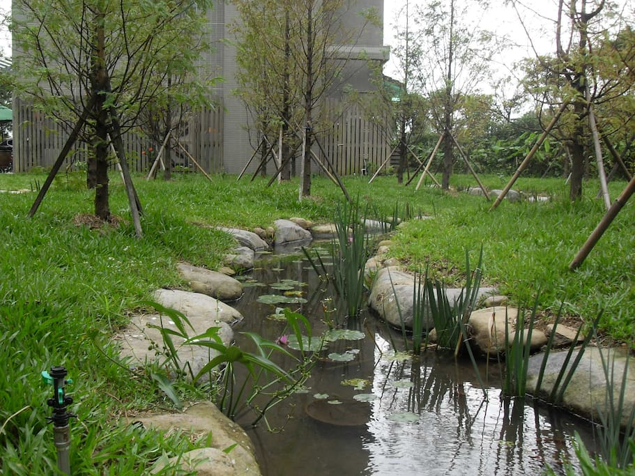 水杉林下的小溪,有台灣原生種的鬥魚,台灣萍蓬草.