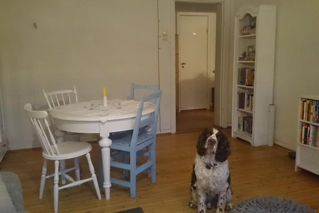 The springer spaniel strikes another pose - welcoming you into the living room