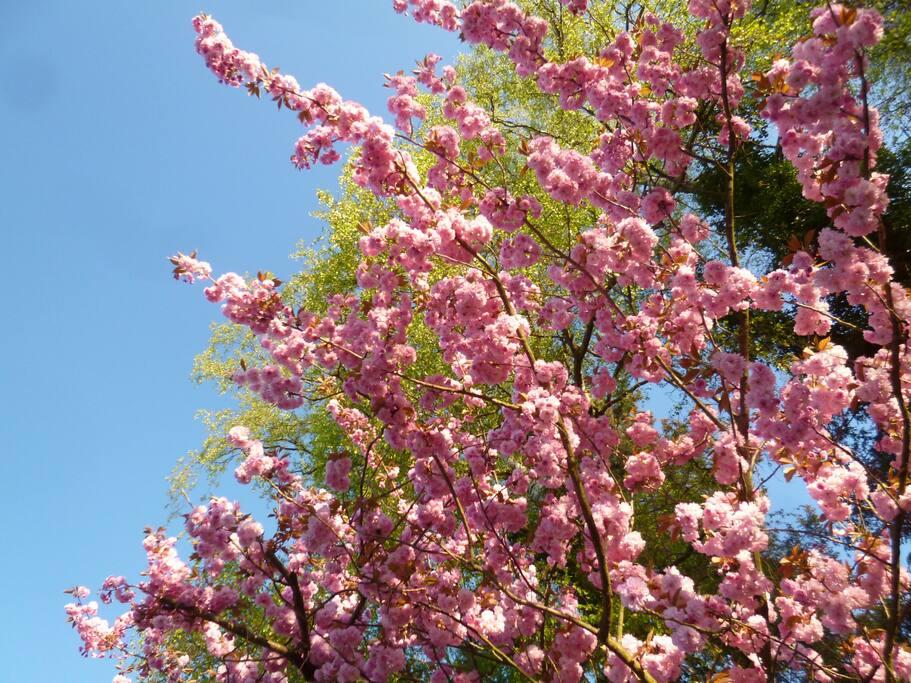 Kirschblüte vorm Haus (Cherry blossom in the street)