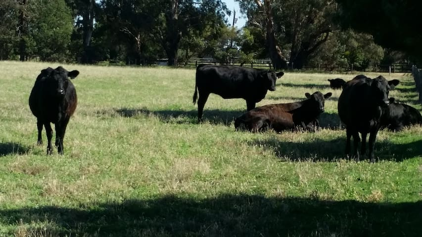 Contented cows