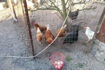 Cickens/Eggs