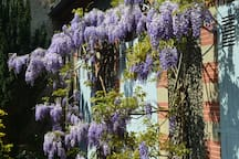 Just outside the bedroom door! - the wisteria has its first flowers in April, and then again later in the summer; beautiful to sit next to.