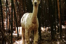 Sunny Shevoun, a suri alpaca female who lives in the bamboo and her barn, and frolics below the treehouse. We have four female alpacas and one baby alpaca.  And two llamas.