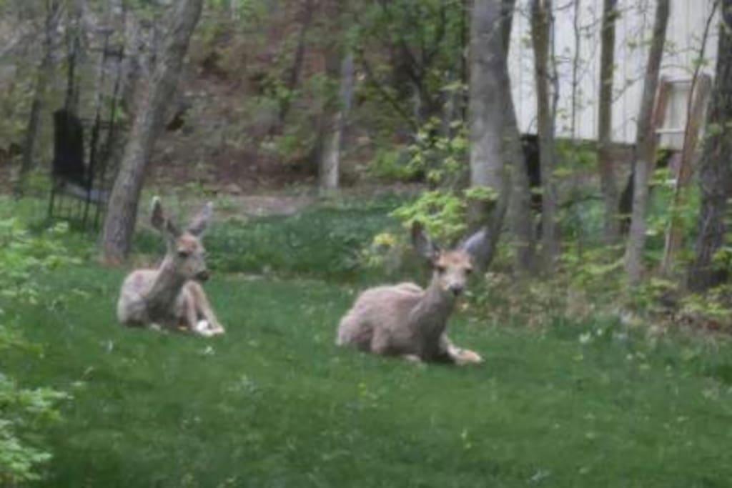 Deer relaxing in our back yard.