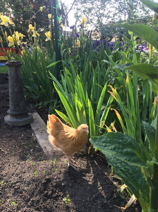 You'll enjoy the gardens just as much as one of our chickens, Ruth Bader Ginsbird!