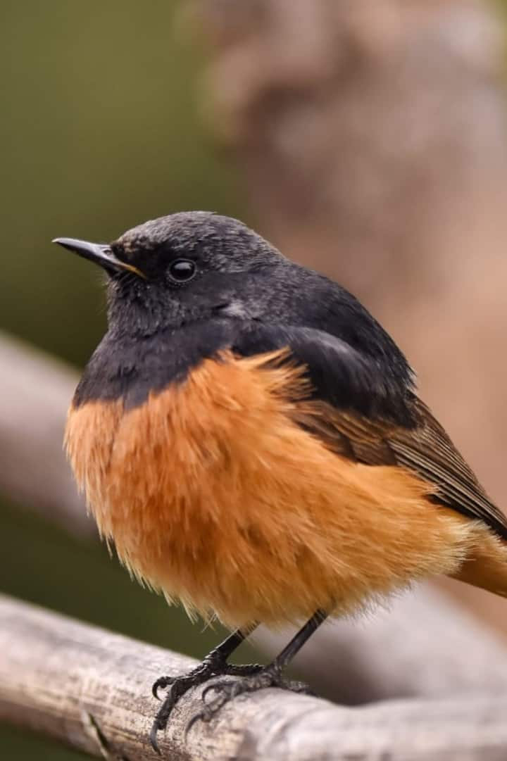 Black redstart- Birds of Darjeeling
