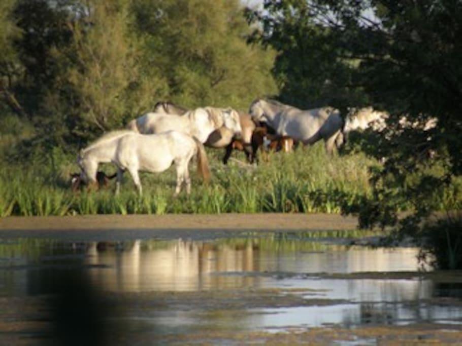 reflet de la manade de chevaux sur les marais