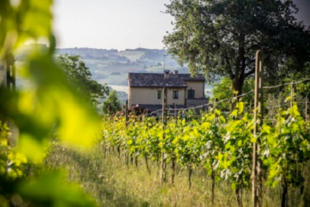 vineyard at Il Casale di Aurora