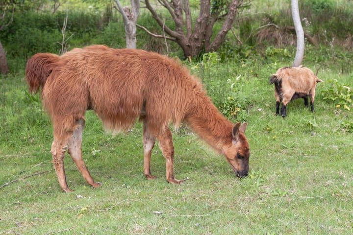 Ptit lapin le lama pacifique gardien des lieux