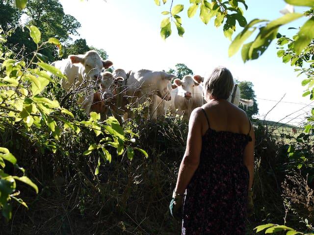 In gesprek met de koeien aan andere kant van haag achter het huis