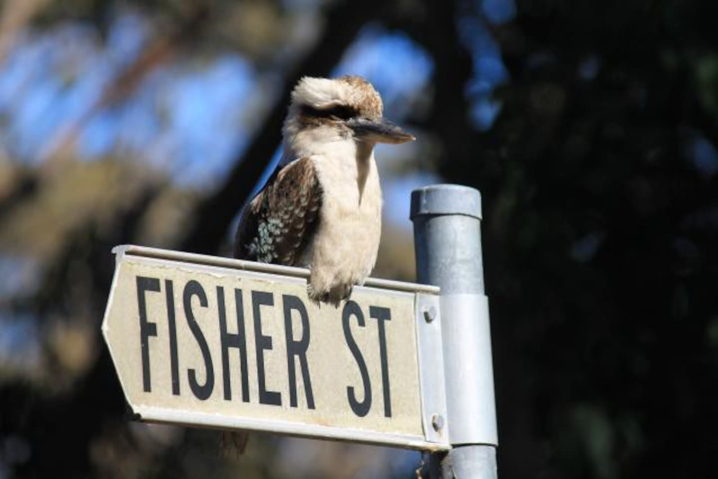 We have a family of kookaburras living in the surrounding trees.