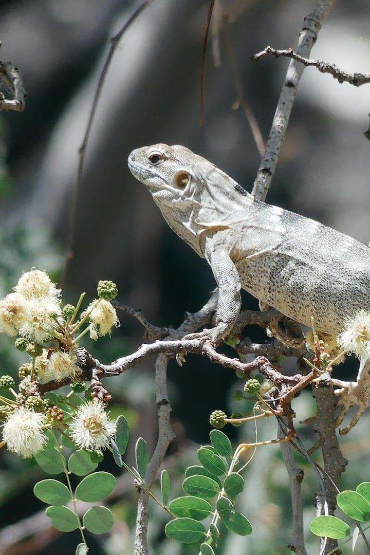 Local Iguana