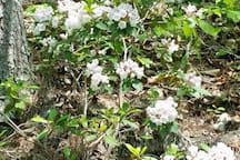 Mountain Laurel everywhere ...