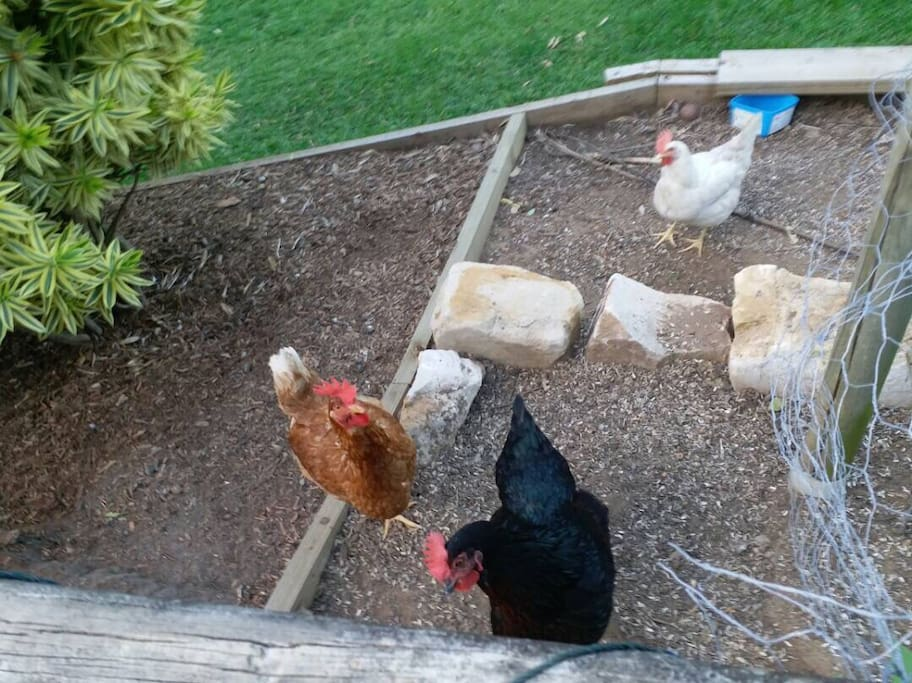 Our friendly Chooks are very inquisitive and happy to take food from your hand.