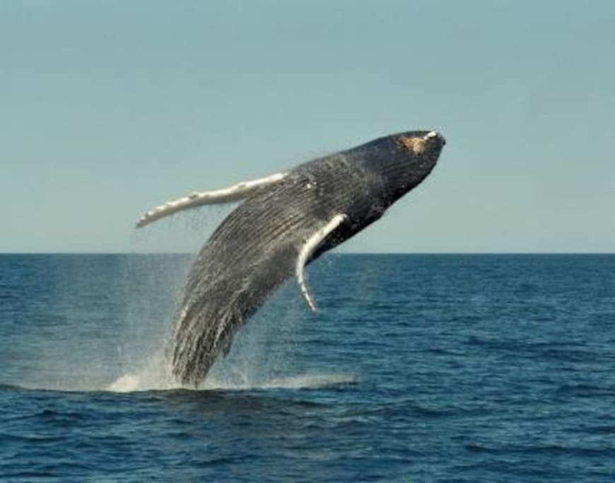 Watch the whales from the beach June to November.