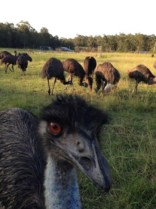 An Emu Farm for all animal lovers, or those who want to by the beach in the bush