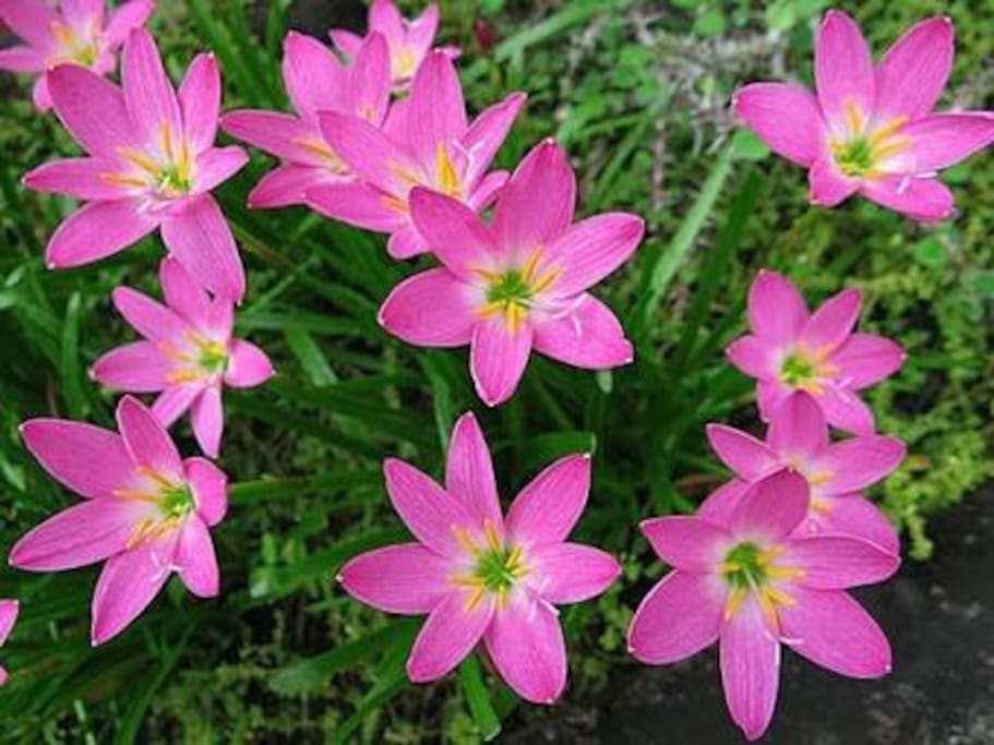 """Our """"Rain Lily"""" in the garden."""