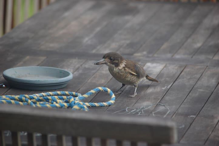 Curious Grey Butcherbird