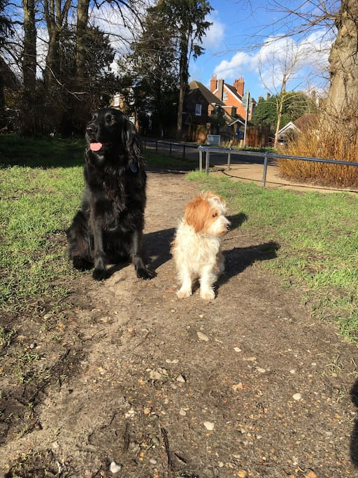 Our dogs- a Flatcoat retriever and a mixed terrier