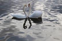 Swans at Loch Lomond
