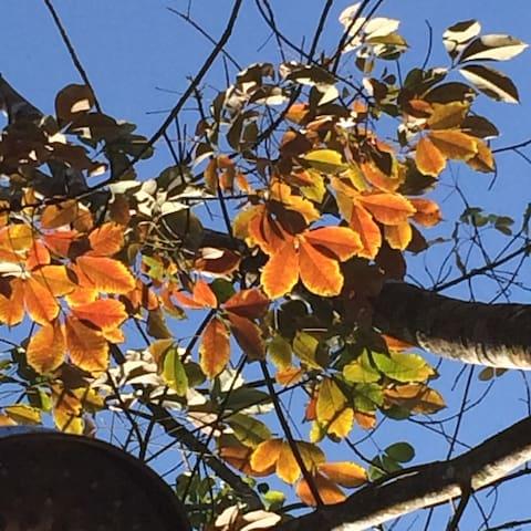 Rubber tree leaves, turning orange before shedding