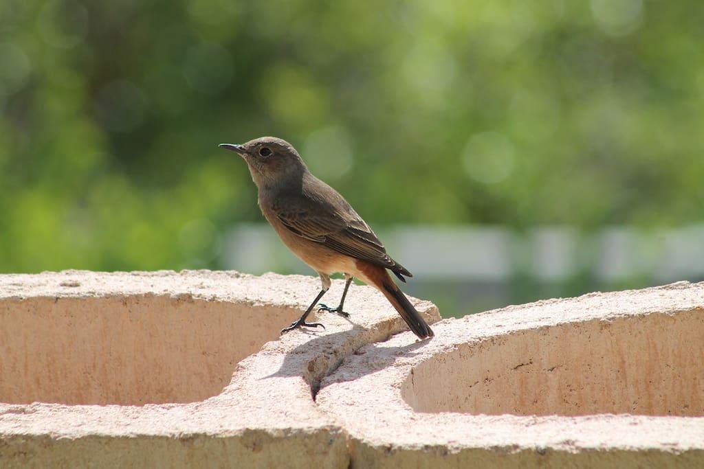 Our signature - the Cape Robin.