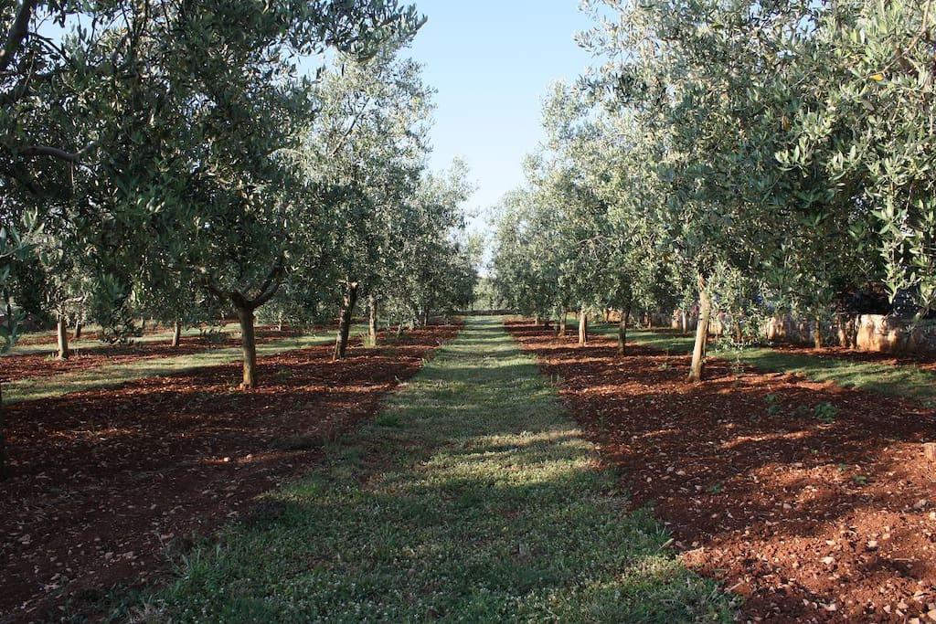 Beautiful olive trees garden