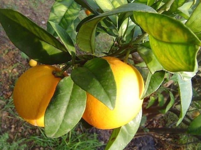 Zitronen im eigenen Garten pflücken
