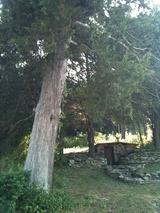 Storm cellar and huge cedar