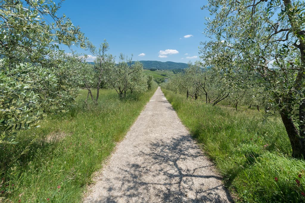 You'll arrive down this private road through typical Tuscan olive groves