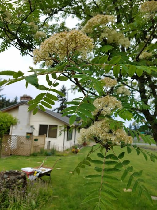 Mountain ash tree looking to house