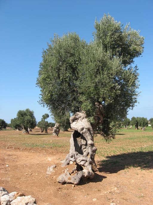 Olive trees like this and fig trees surround the property