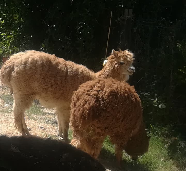 Casa tra gli alpaca.