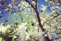 blossoming apple trees (seasonal)