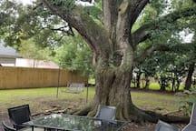 150 year old Live Oak