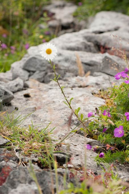 Amazing Burren Flowers.