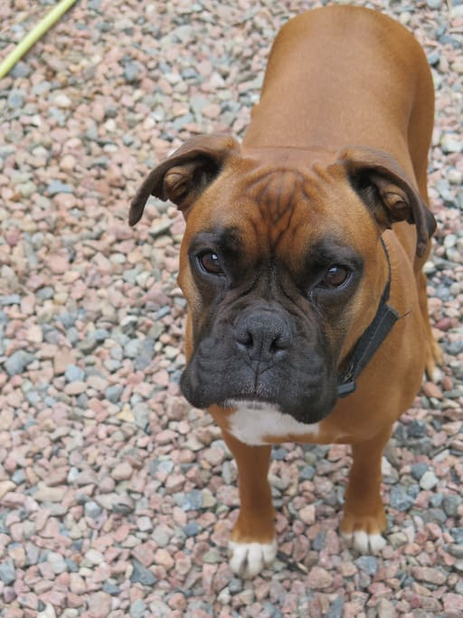 Zoe,our lovable boxer dog!