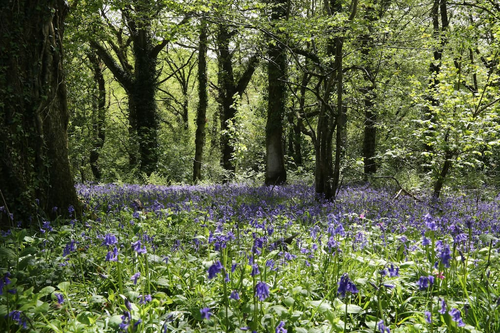 A sea of zingy bluebells in Limeslake Woods in May.