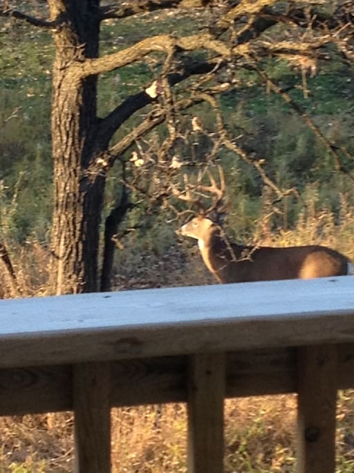 Deer right in your backyard!