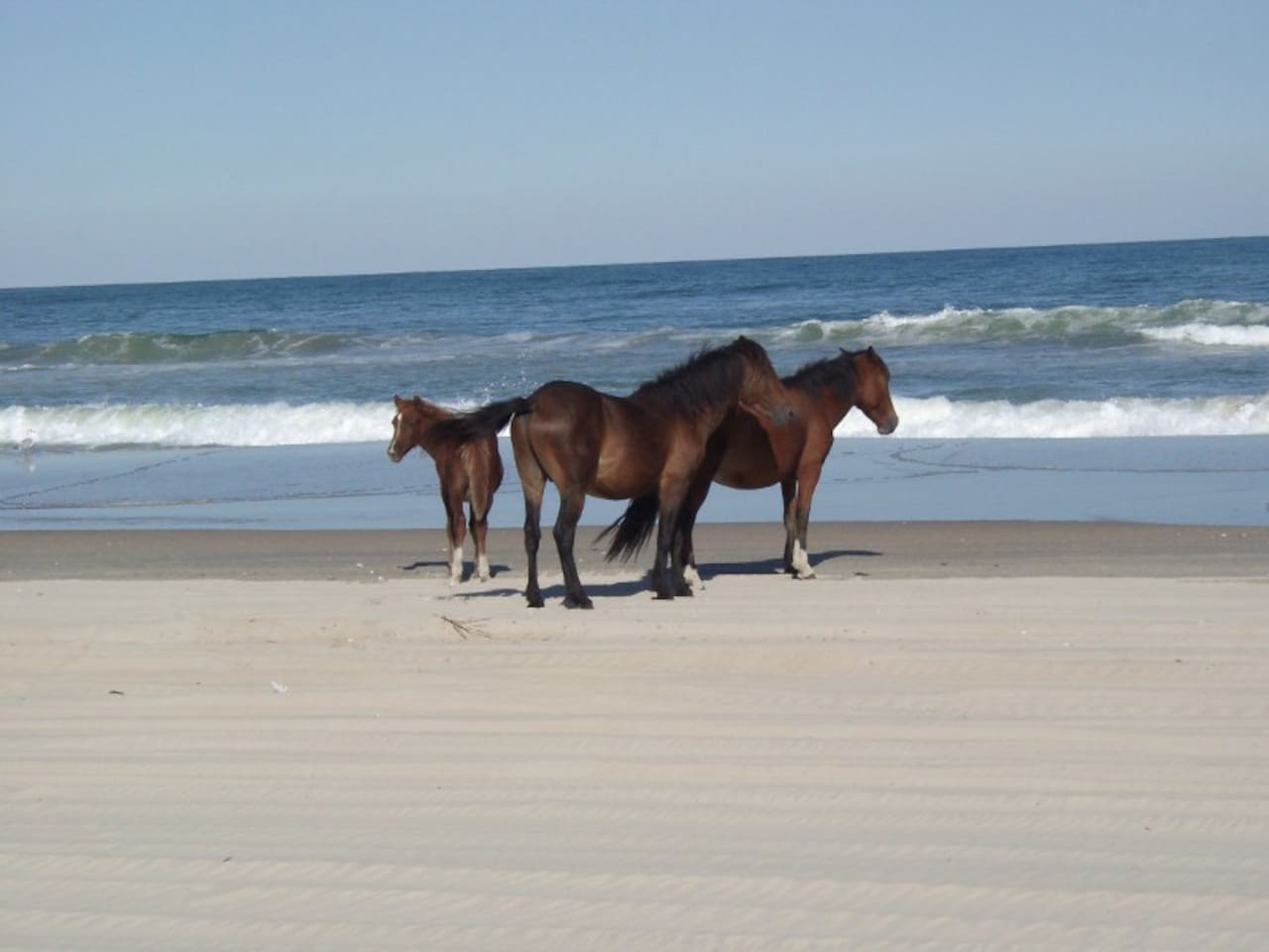 Wild horses on the beach.