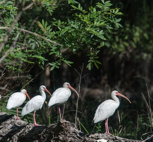 Ibis sunning on St. Johns River