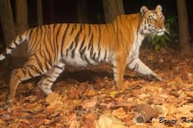 Meanwhile the camera trap captures the king of the jungle on it's nightly prowl