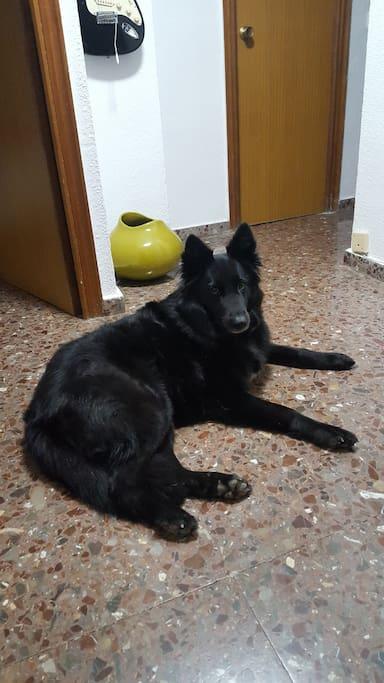 Mascota de la casa, Cora, pastor belga.