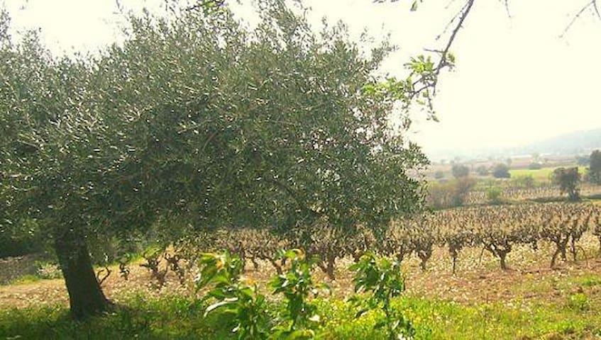 les vignes et oliviers qui entourent le village de ginestas