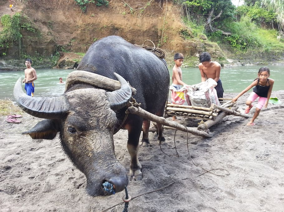 Beautiful Water Buffalo ... you can have a ride ...