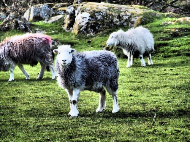 Herdwick Sheep on local Duddon Valley fells