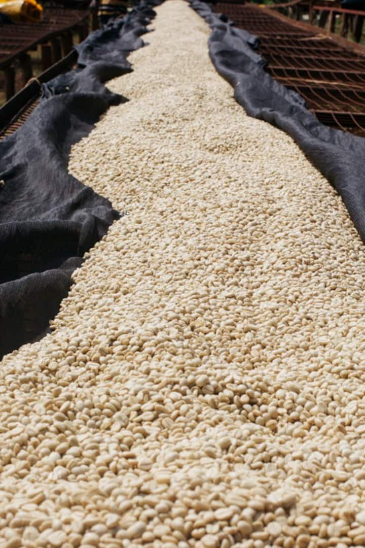 Coffee beans on the drying beds
