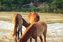 Paso Fino horses hanging out at the beach.