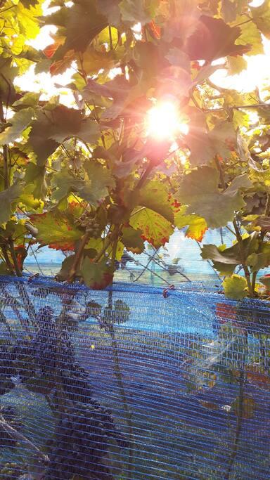 zon in de wijngaard