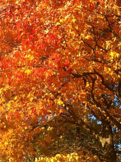 Feuilles d'automne. Chênes autour du chalet